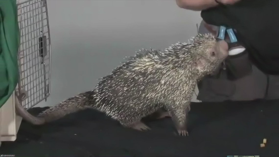 Meet LEO, the Prehensile-Tailed Porcupine at the Blank Park Zoo!