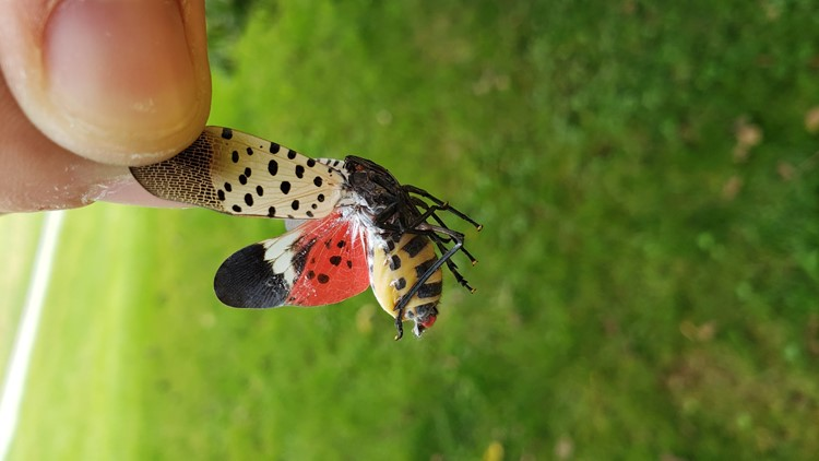 Bugged by bugs? How to curb the spread of the spotted lanternfly