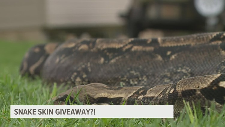 You can win a Boa constrictor's eleven-foot-long shed-off skin