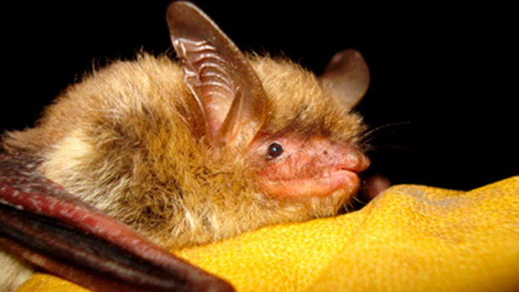 State introduces new conservation measures to help protect threatened and endangered bats