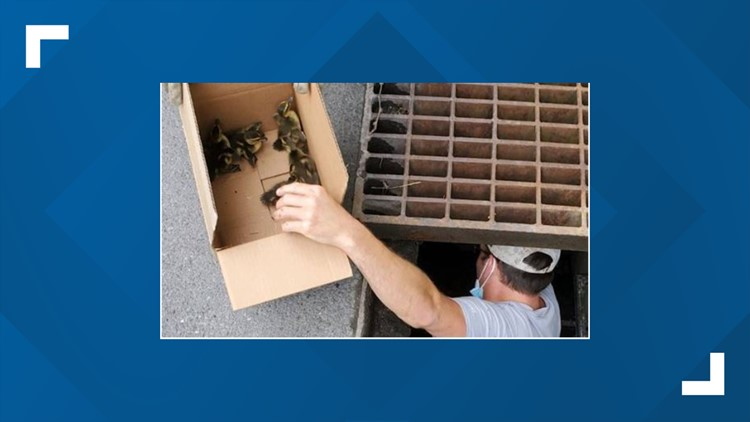 Team members at WellSpan Chambersburg Hospital rescue 9 ducklings trapped in storm drain