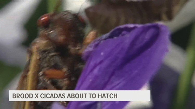 Experts say Brood x cicadas will begin to hatch this weekend in Pennsylvania