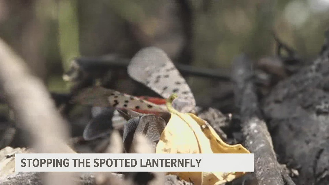 Stopping the spotted lanternfly