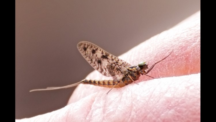 The summer swarm: When you can expect mayflies to emerge
