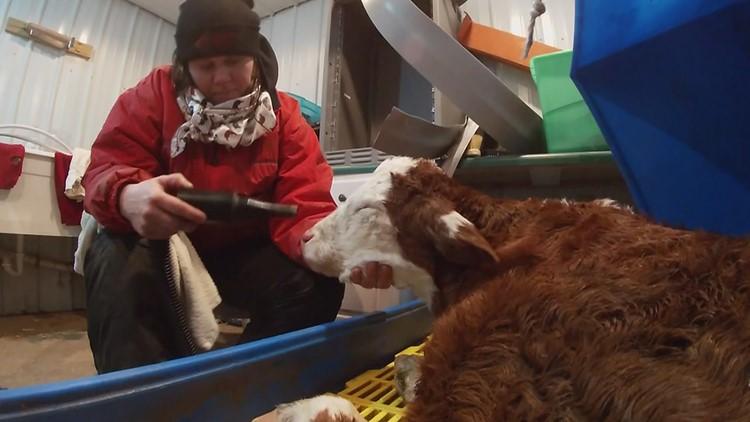 How farmers keep newborn calves safe from sub-zero temperatures