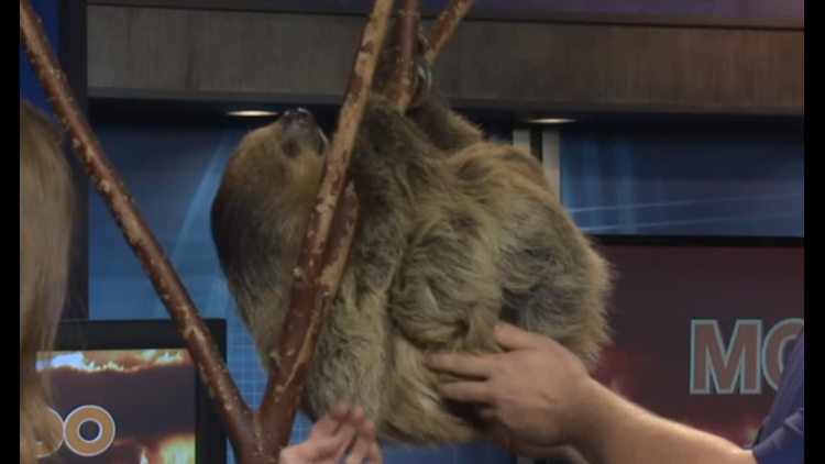 'Sal' the 20-year-old sloth at Niabi Zoo passes away