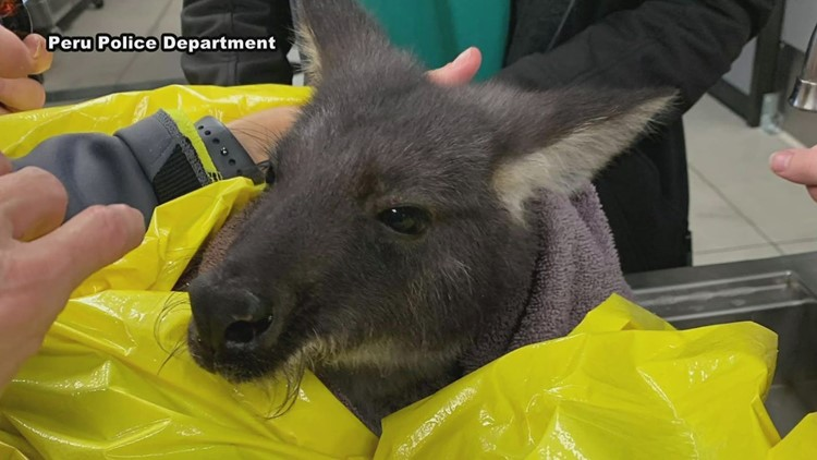 Escaped pet wallaroo leads first responders on two-hour chase