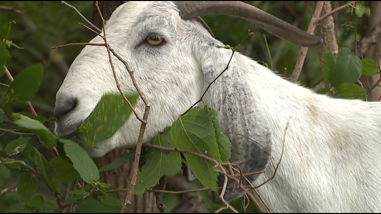 Goats hired as gardeners at the Deere-Wiman house in Moline