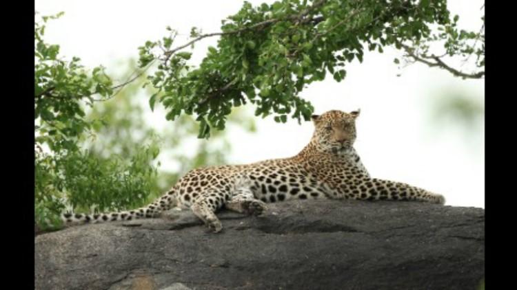 Niabi Zoo welcomes female Amur Leopard