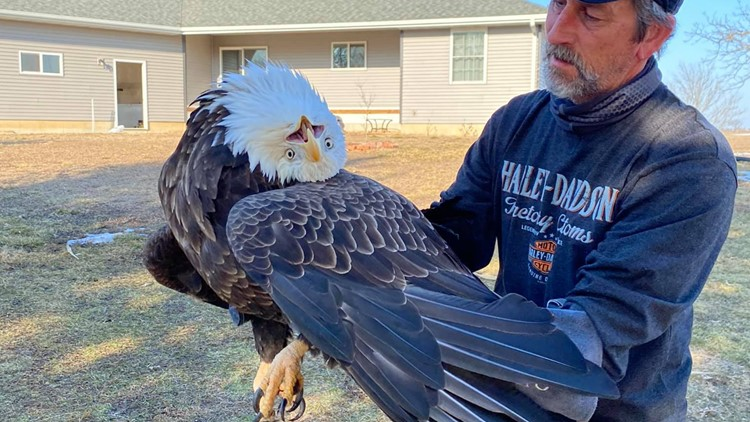 Bald eagle with crooked head getting treatment after rescue in Kewanee