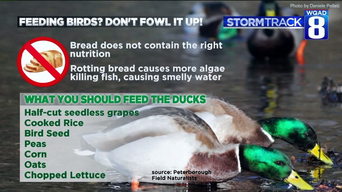 Here Are 7 Great Things To Feed Ducks Instead Of Bread Wqad Com