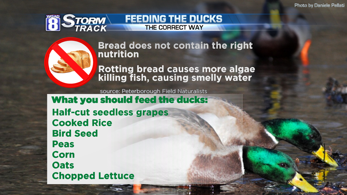 Leave The Bread At Home Here S What Ducks Really Want Wqad Com