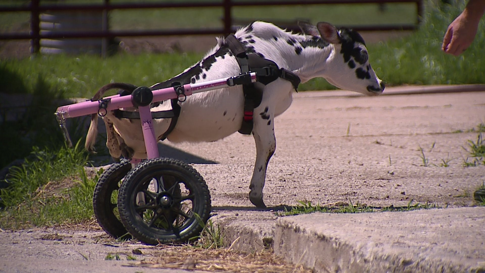 Mini cow regains mobility thanks to an Iowa man's compassion and a set of  wheels