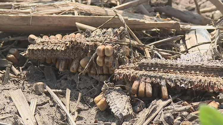 The derecho could cost Iowa soybean farmers big in the 2021 harvest