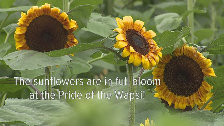WATCH: Sunflower Days is in full bloom at the Pride of the Wapsi