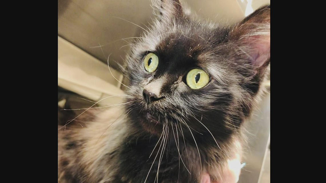Pet of the Week: Ivy, 8-year-old cat