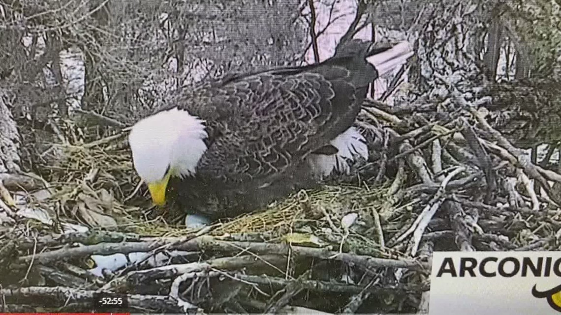 Arconic eagles have two eggs in the nest