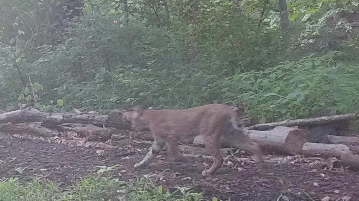 Bobcat discovered on Rock Island trail
