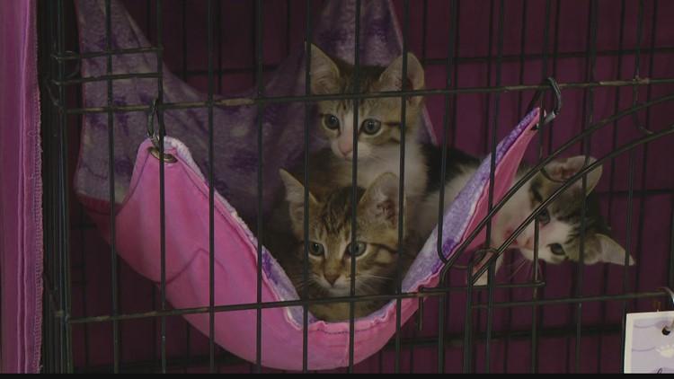 IndyHumane hosting cat adoption event
