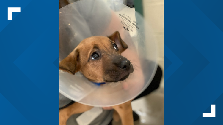 13 to the Rescue: Volunteers at IndyHumane help raise money for dog's life-saving surgery
