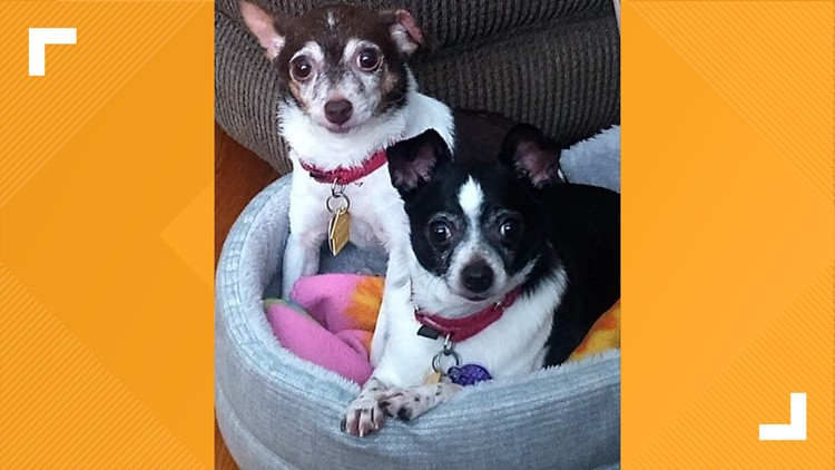 13 to the Rescue: Rescue group aims to end overbreeding of chihuahuas