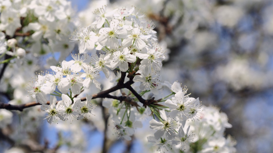"""Indiana city warns against planting """"stinky trees"""" this spring"""