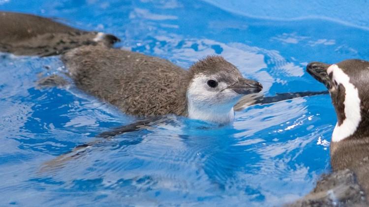 WATCH: Chicago aquarium penguin chicks take 1st swim