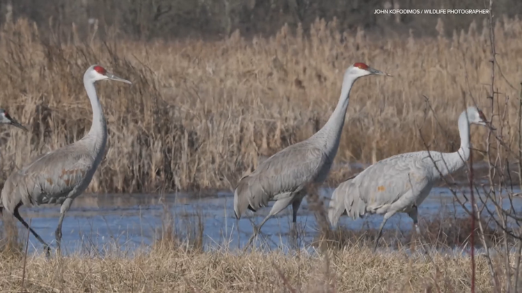 Going Green: Sandhill cranes make annual stop in Indiana