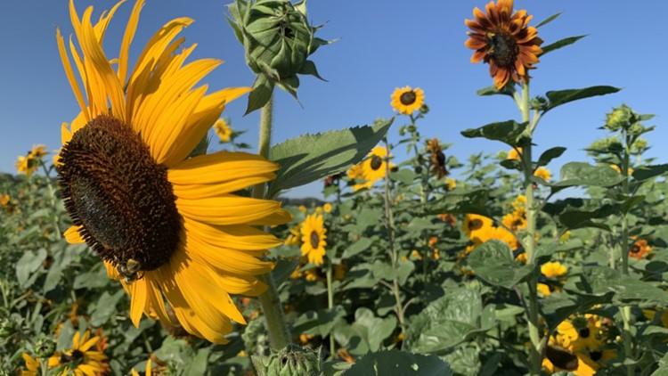 Conner Prairie debuts 3-acre sunflower field