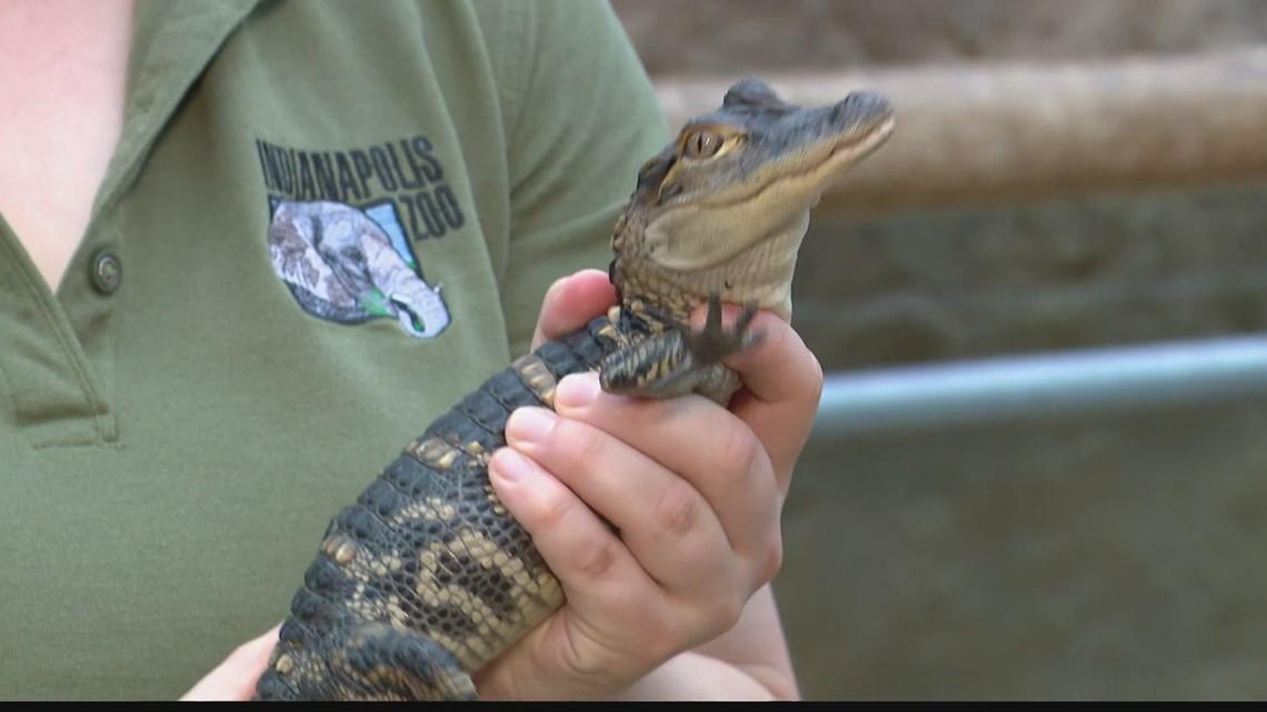 Indianapolis Zoo bringing new alligator experience