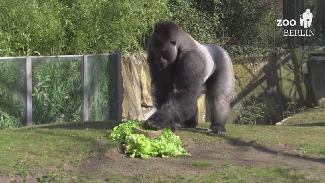 Gorilla dad unsuccessfully tries to take all Easter treats for himself