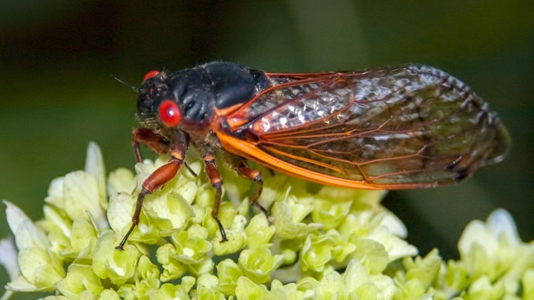 Get ready! Here's how you can help scientists track the 17-year cicadas in Indiana