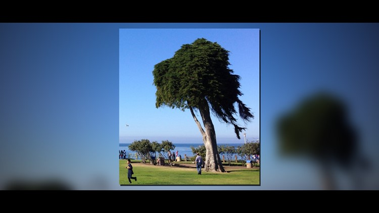 Tree That Inspired The Lorax Falls In California Wthr Com