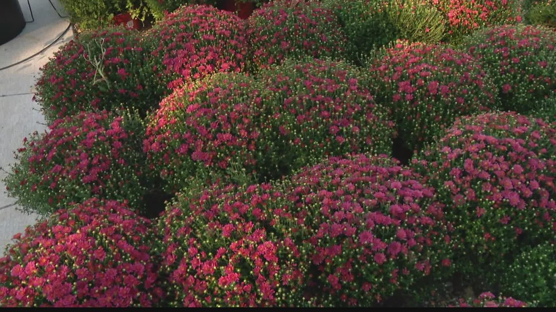 Pat Sullivan: Mums and other fall plants
