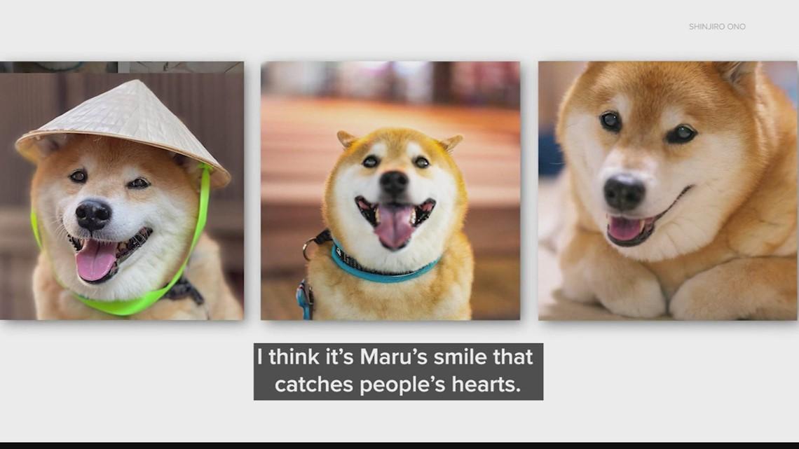 Meet Maru, Japan's most popular dog