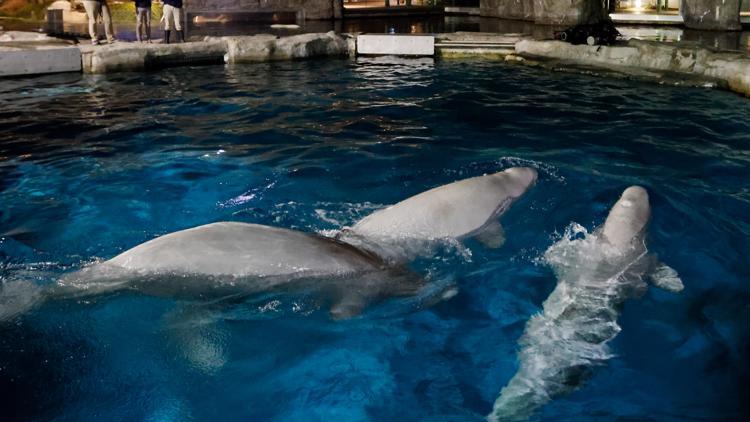 Second beluga in failing health after move Mystic Aquarium
