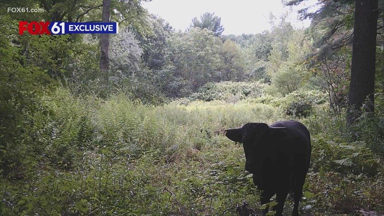 'Buddy' the beefalo finds new home in Gainesville
