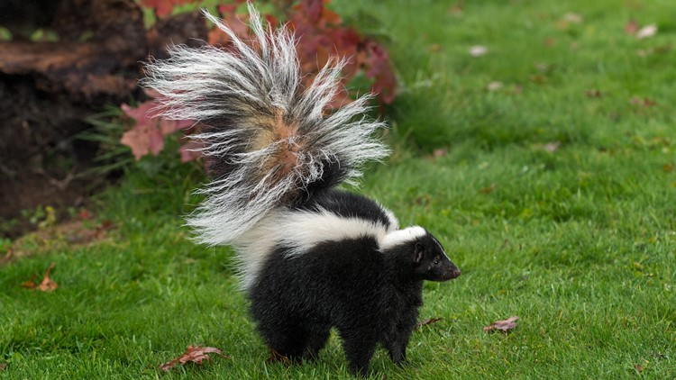 Skunk tests positive for rabies at Groton park