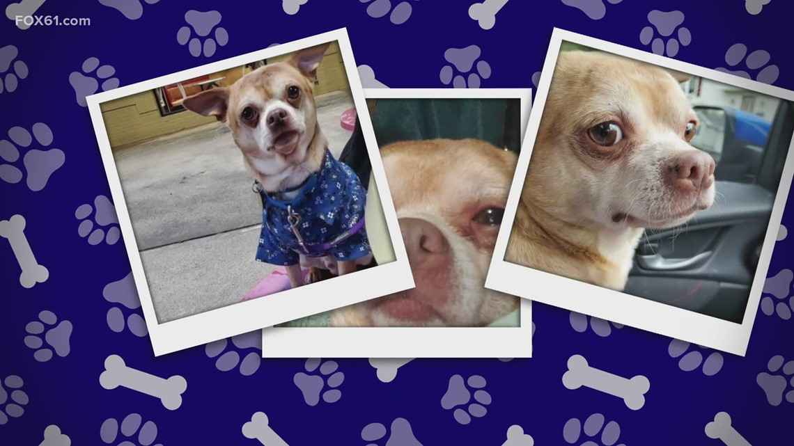 Prancer, the viral 'demonic' chihuahua, finds his forever home in New Haven