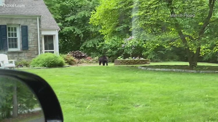 Simsbury homeowners find bear in their front yard