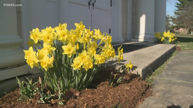 Madison's going yellow with 2000 Daffodils planted throughout the town