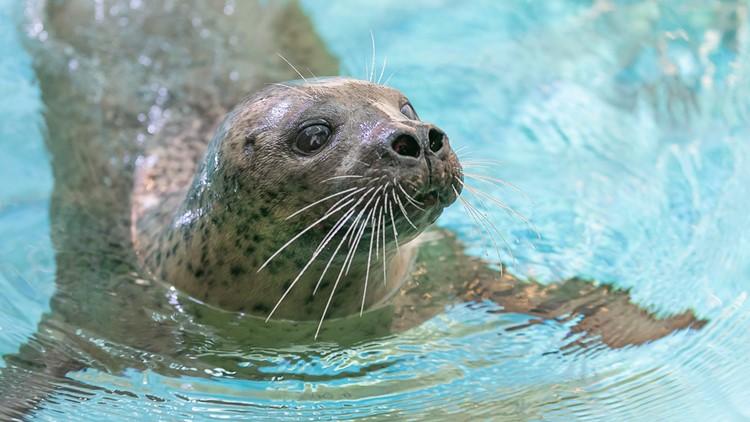 Playful Pinnipeds   Maritime Aquarium debuts new habitat for harbor seals