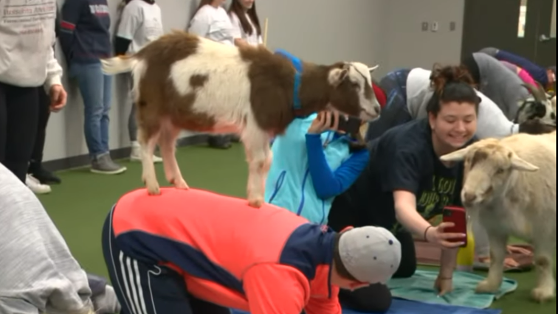 Yard Goats host Goat Yoga: G.O.A.T.?
