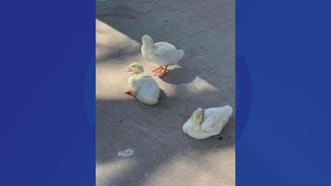 3 abandoned ducks found in Middletown park, taken to safety