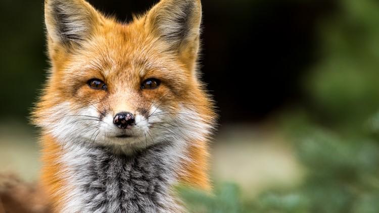 Fox tests positive for rabies in New London: health officials
