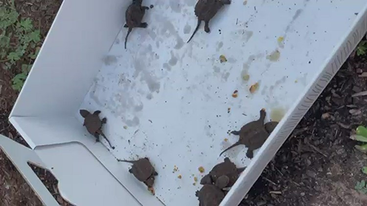 Quinnipiac Public Safety officers help 16 baby turtles get to safe water