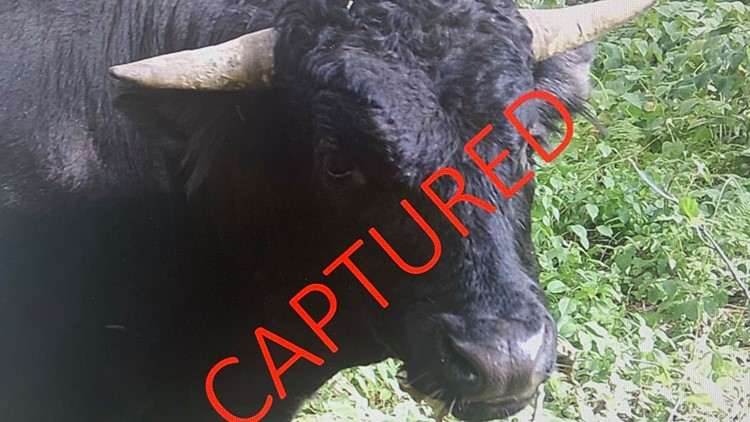 'Buddy' the Beefalo caught by police