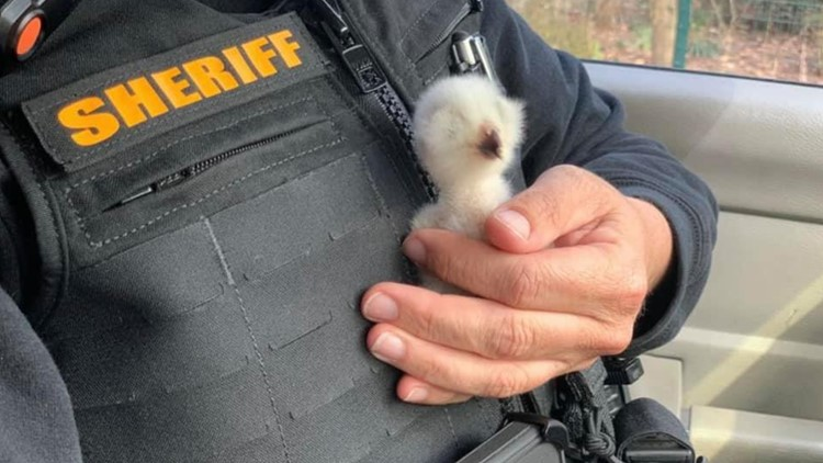Baby owl who lost its home rescued by deputy