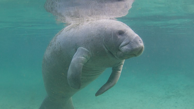 'Unprecedented': 841 Florida manatees have died so far this year