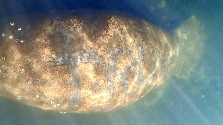 Manatee found with 'Trump' scraped onto back, federal authorities investigating